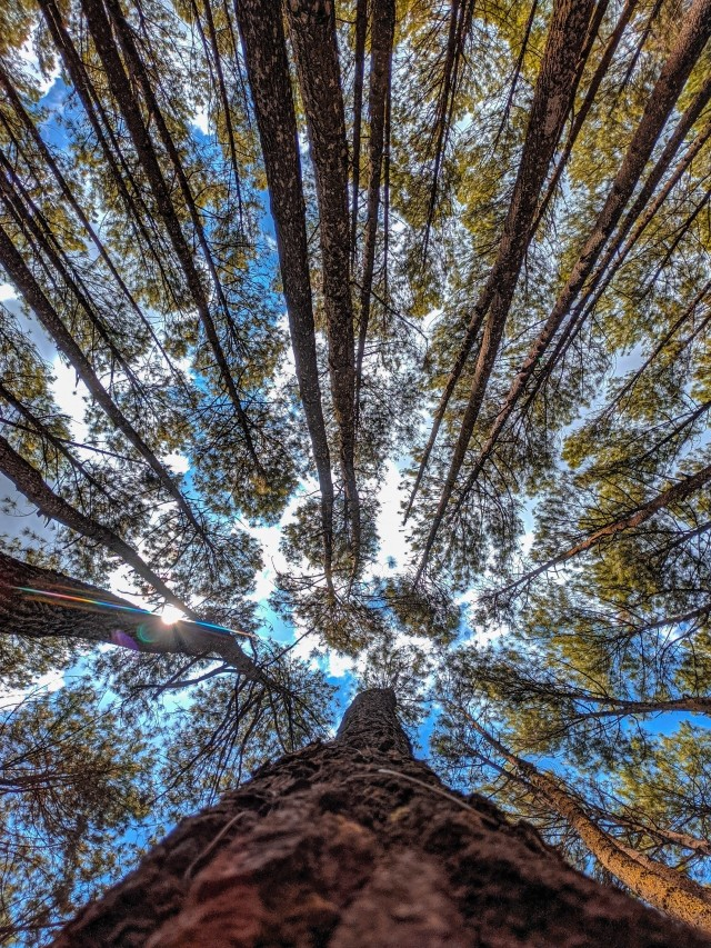Looking up at trees in a forest