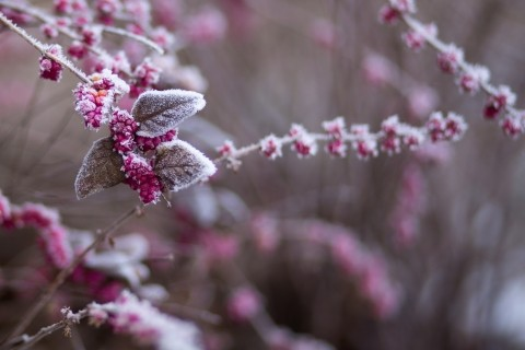 pink-flowers-covered-with-snow_2.jpg